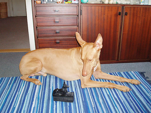 Pharaoh Hound looking at...Pharaoh Hound?