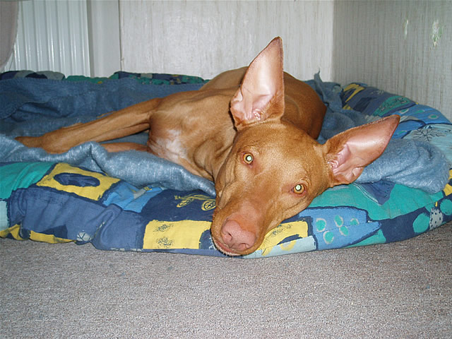 Pharaoh Hound lying in bed