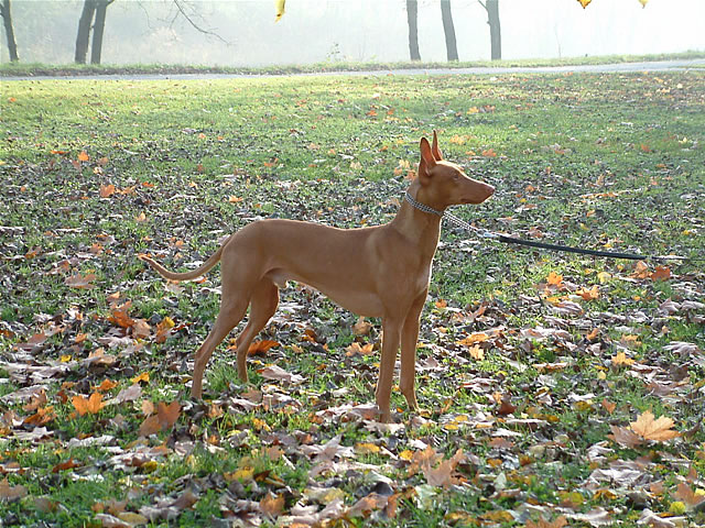 Pharaoh Hound in a pretty field