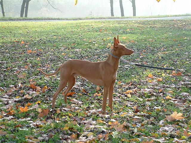 Pharaoh Hound in a pretty field