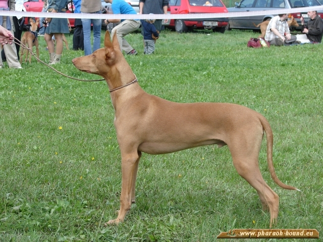 Pharaoh Hound posing in grass