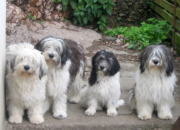 Polish Lowland Sheepdog's in a row