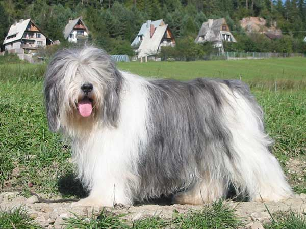 Polish Lowland Sheepdog with tongue out