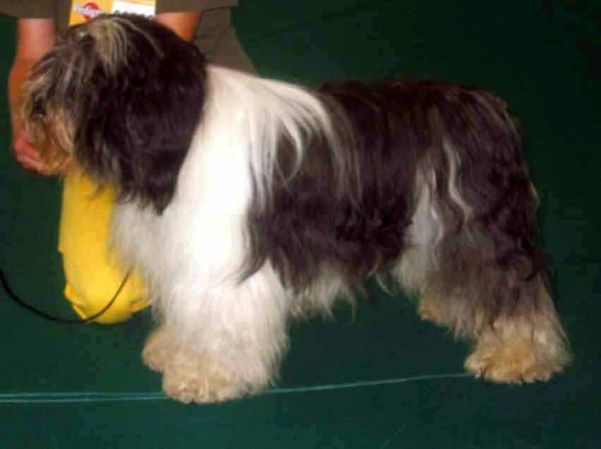 Polish Lowland Sheepdog showing