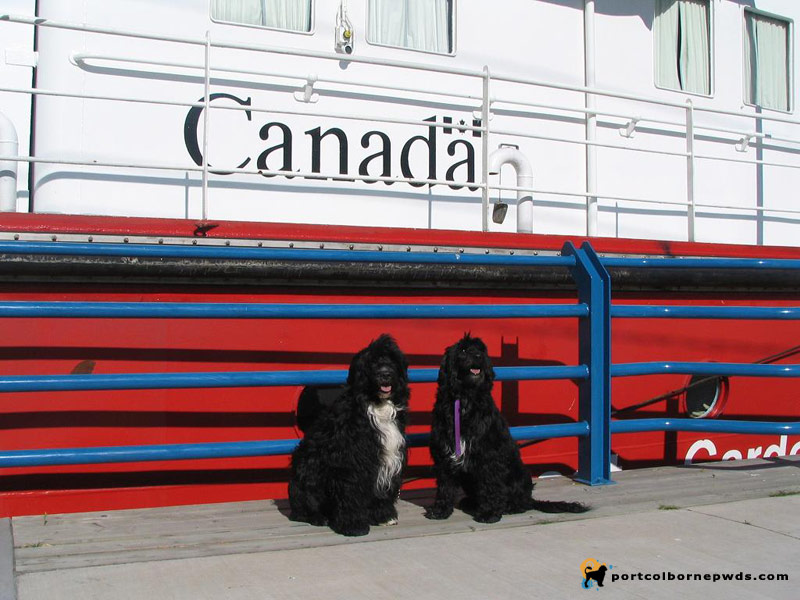 Portuguese Water Dog's in Canada