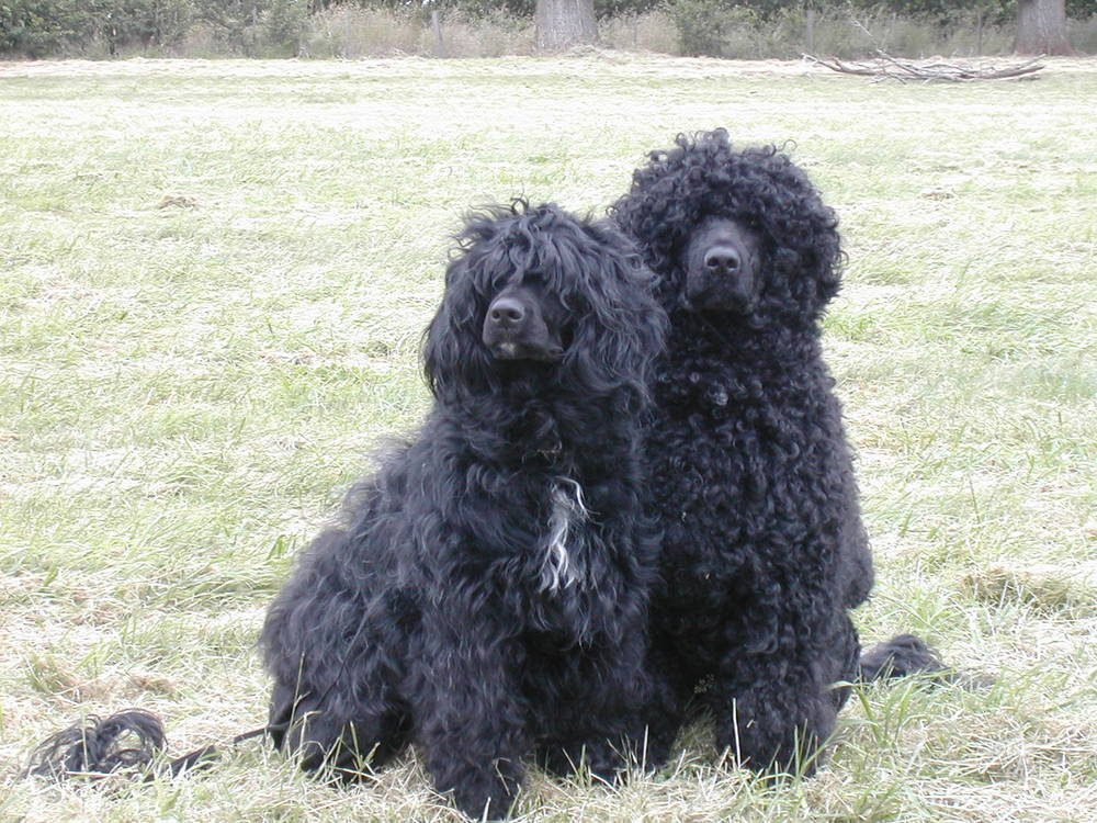Portuguese Water Dog's posing