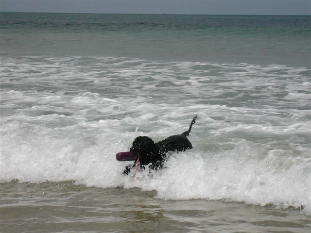 Portuguese Water Dog catching a wave