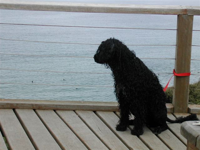 Portuguese Water Dog on the dock