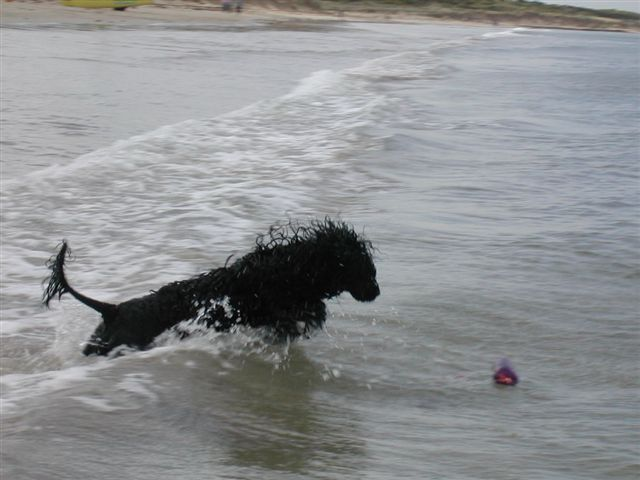 Portuguese Water Dog chasing ball in ocean
