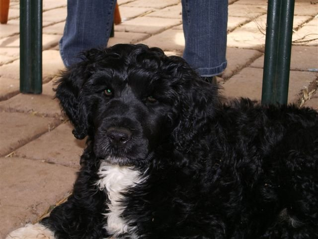 Portuguese Water Dog staring