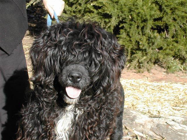 Portuguese Water Dog with tongue out