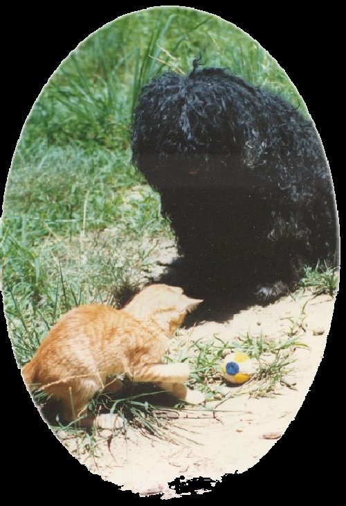 Puli plays with cat