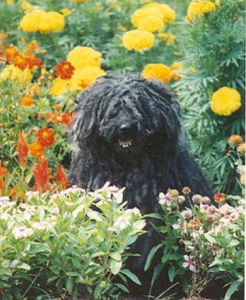 Puli in a garden