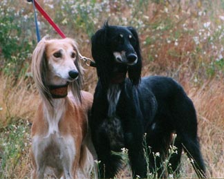 Saluki's on a walk