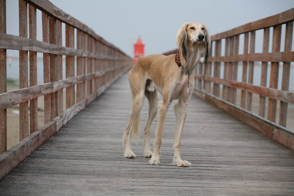 Saluki on a dock