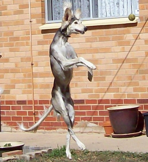 Saluki jumping for ball