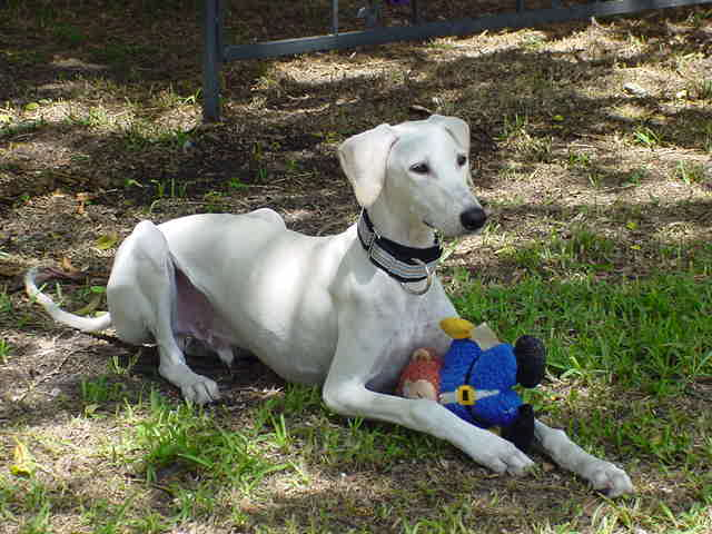 Saluki with toy