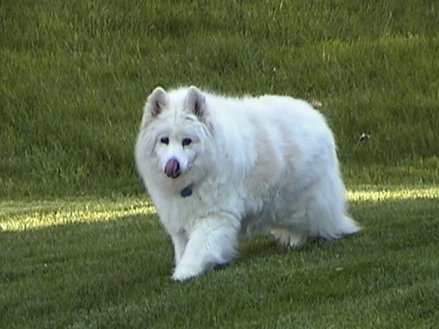Samoyed walking in the grass