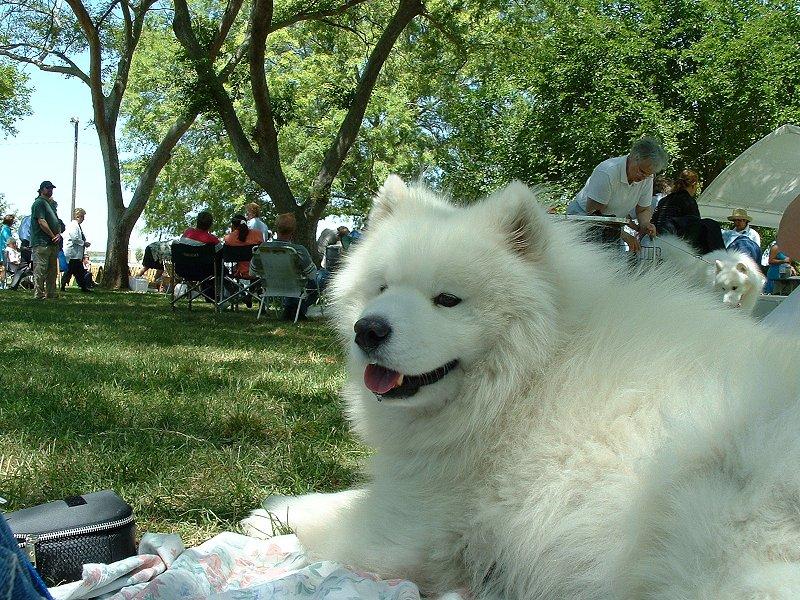 Samoyed at a picnic