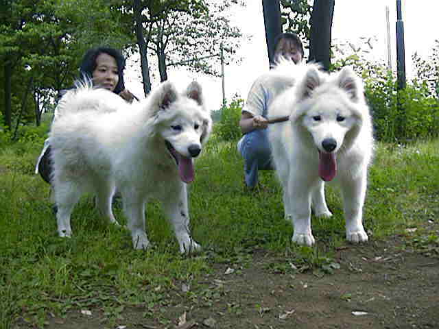 Samoyed's on a walk