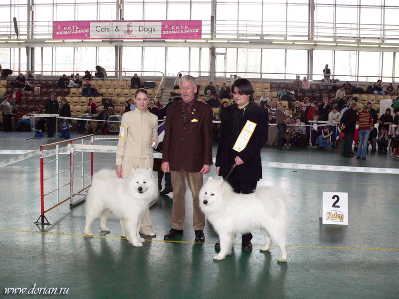 Samoyed showing