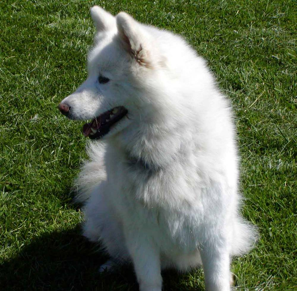 Samoyed Dog Breed Information Puppies Amp Pictures