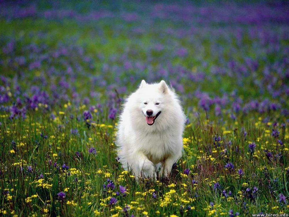 Samoyed running through field