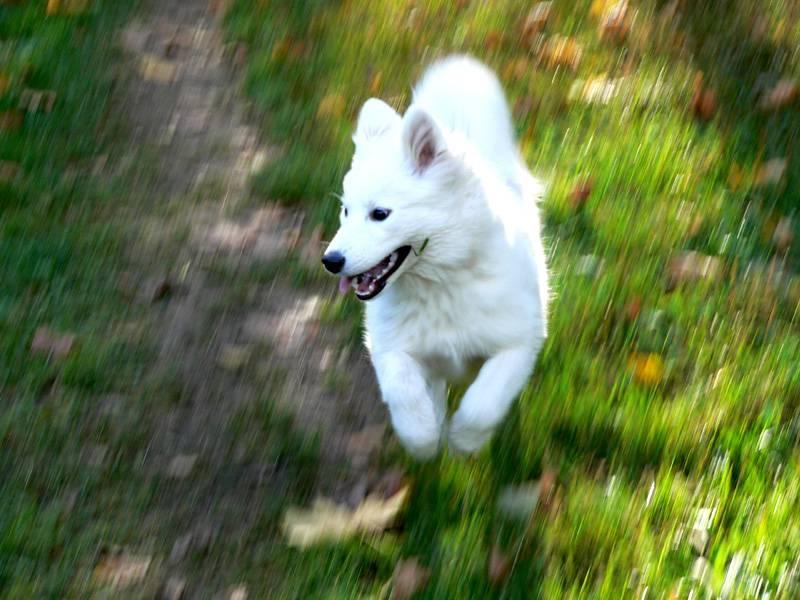 Samoyed running through grass