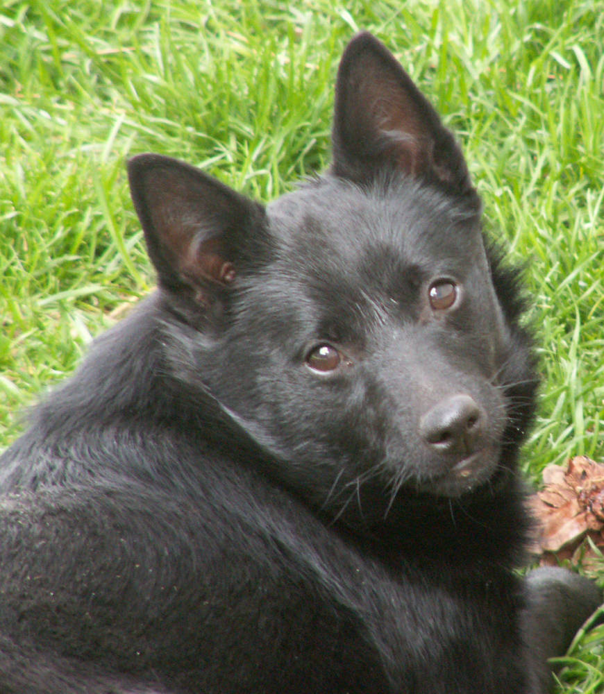 Schipperke looking up
