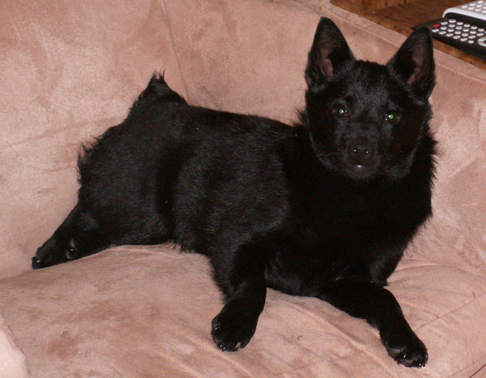 Schipperke on the couch