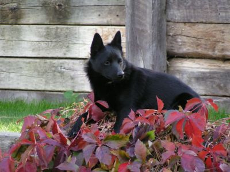 Schipperke lying in plants