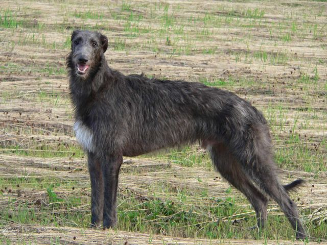 Scottish Deerhound staring