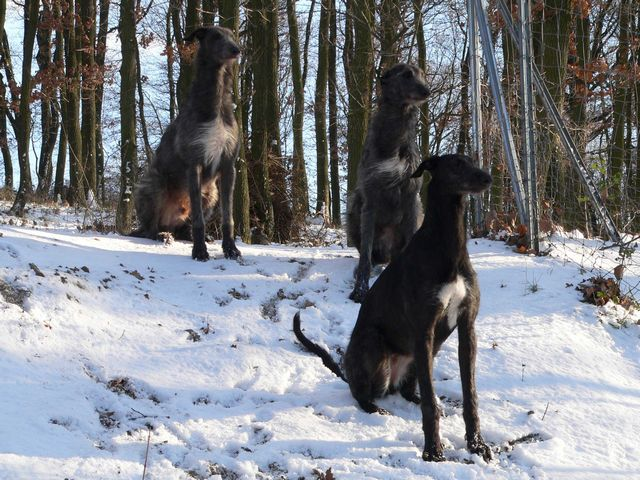Scottish Deerhound's in the snow