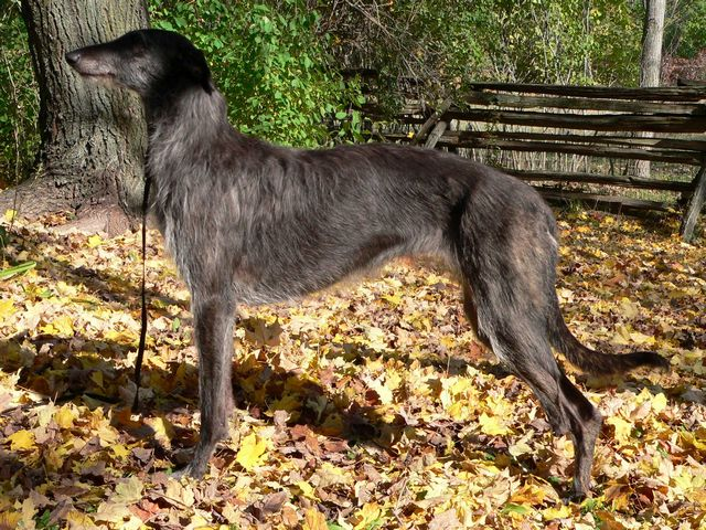 Scottish Deerhound posing in leaves