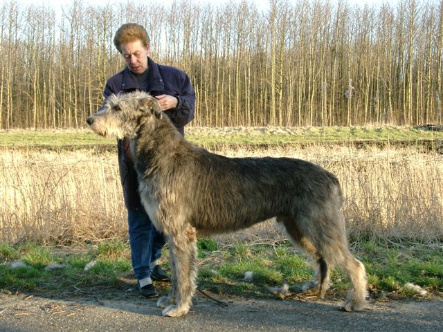 Scottish Deerhound looks huge