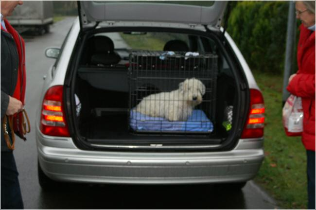 Sealyham Terrier in the trunk