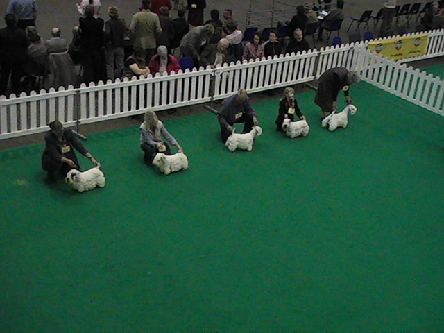 Sealyham Terrier all lined up