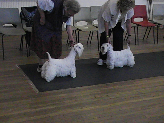 Sealyham Terrier facing off