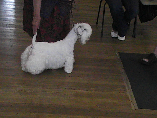 Sealyham Terrier looking away