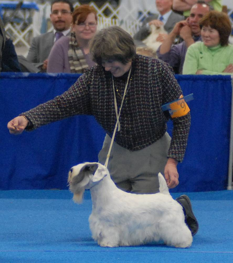 Sealyham Terrier given command