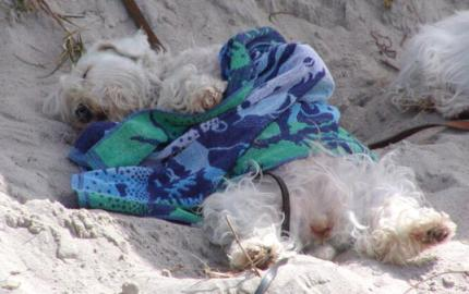 Sleeping Sealyham Terrier