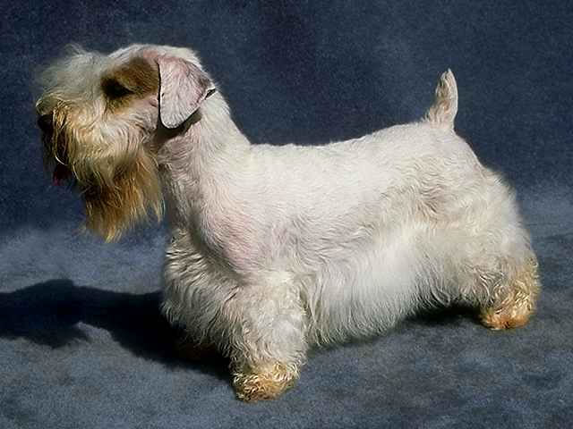 Sealyham Terrier posing
