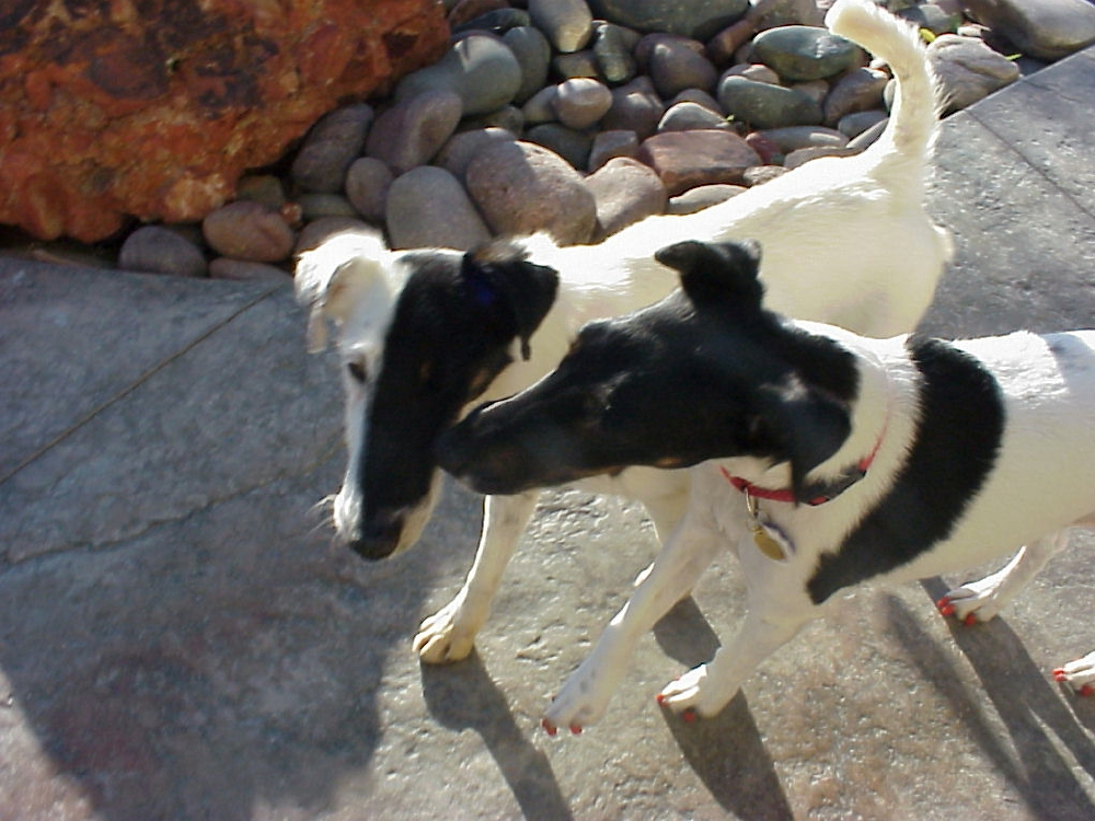 Smooth Fox Terrier's kissing