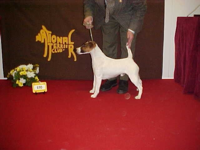 Smooth Fox Terrier being shown