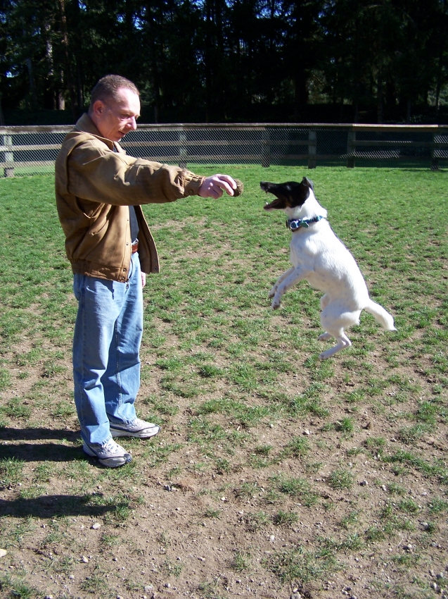 Smooth Fox Terrier jumps for ball