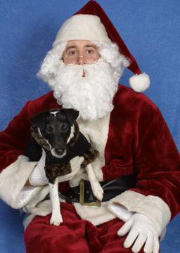 Smooth Fox Terrier meets Santa