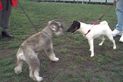 Smooth Fox Terrier meets friend