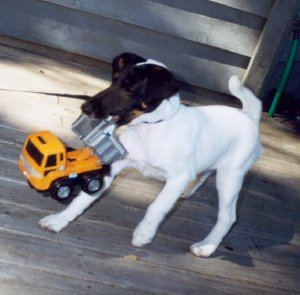 Smooth Fox Terrier with toy truck