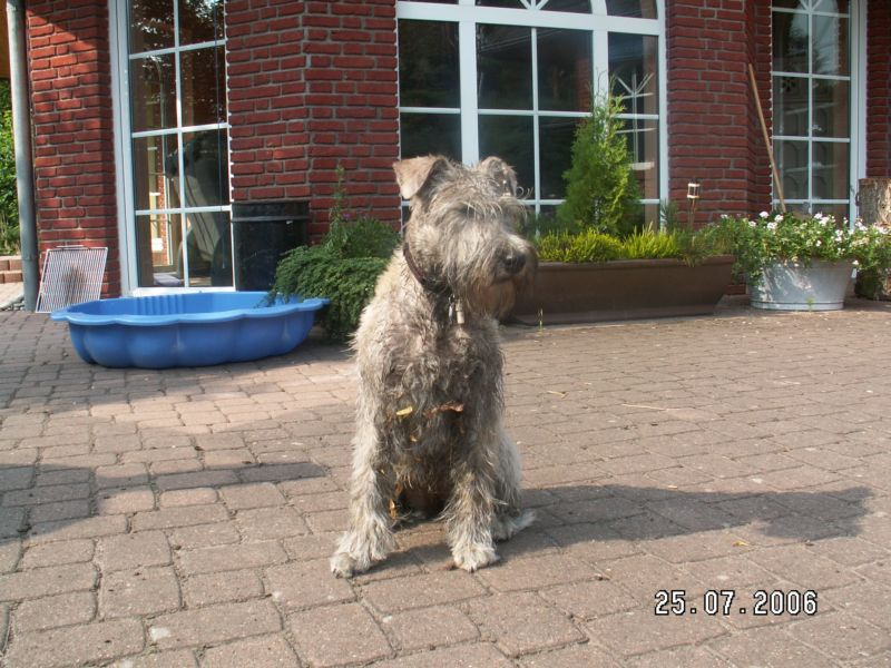 Soft Coated Wheaten Terrier staring