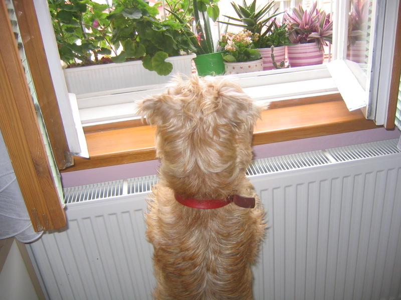 Soft Coated Wheaten Terrier looks out window
